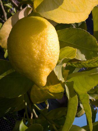 limetree: Ripe lemon hanging on lemon tree at orchard