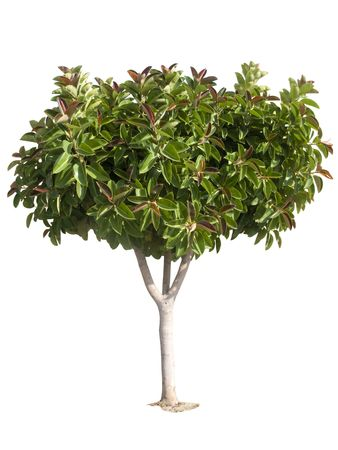 ficus: Rubber tree. Producer of latex.