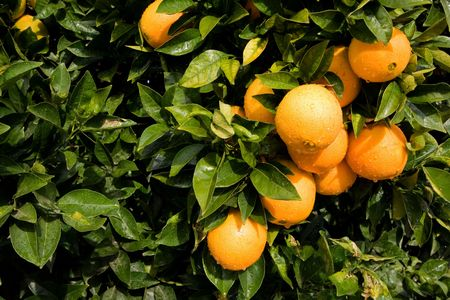 bitter: Beautiful ripe oranges hanging on an orange-tree in an orchard