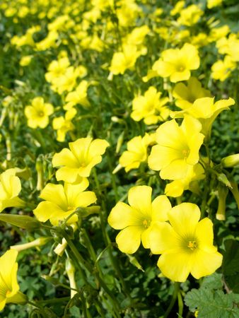 Yellow flowers (Oxalis pes-caprae) in meadow. Invasive species. Stock Photo - 2657346