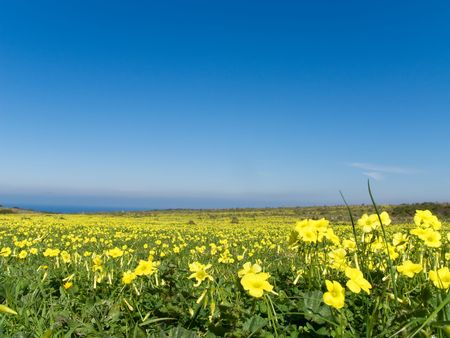 Meadow filled with yellow flowers in spring Stock Photo - 2665758