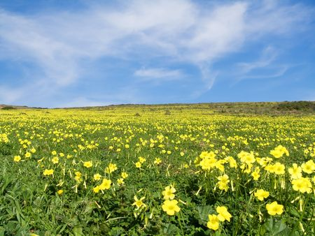 Meadow filled with yellow flowers in spring   Stock Photo - 2688286