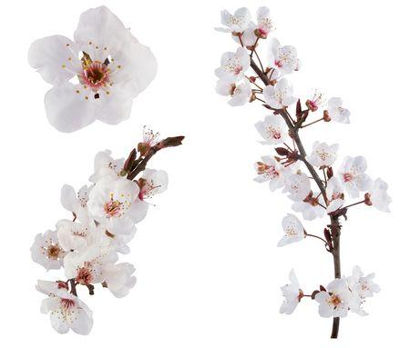 Plum-albero fiori. Design elementi isolati su bianco.