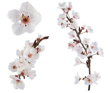 arbol cerezo: �rbol de ciruela flores. Dise�o de elementos aislados en blanco.