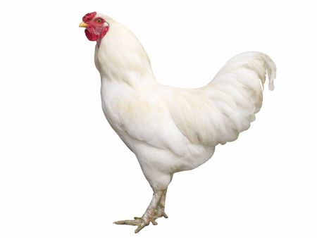 Proud white cock isolated on white photo