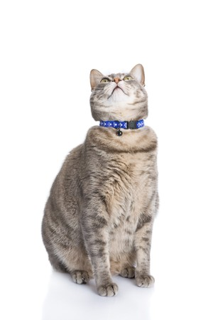 sited: Tabby cat sitting and looknig up isolated on white