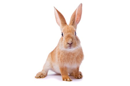 intrigued: Curious young red rabbit isolated on white background