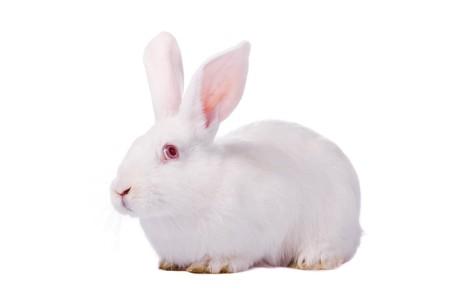 wit konijn: Schuchtere jonge witte konijn geïsoleerd op witte achtergrond