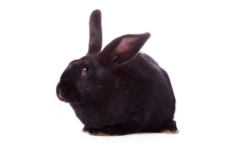 timid: Timid young black rabbit isolated on white background