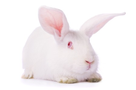 timid: Timid young white rabbit isolated on white background