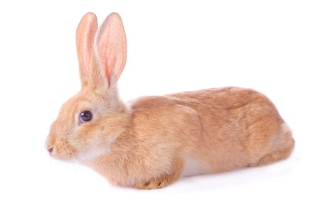 timid: Timid young red rabbit isolated on white background