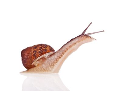 mucus: Garden snail looking up isolated on a white background