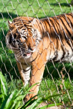 Young Siberian Tiger caged behind a wire fence photo