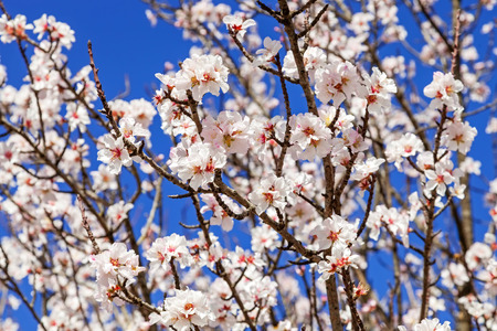 pink cherry: Beautiful cherry blossoms on a warm and sunny spring day Stock Photo