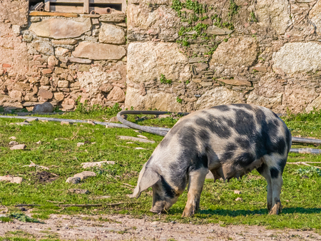 teats: Female pig feeding with teats full of milk for the piglets. Crato, Alto Alentejo, Portugal.