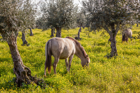 grazing: Pregnant mare from the Alter Real breed, a high-end Lusitano Horse, in Coudelaria de Alter. Alter do Chao, Portalegre, Portugal.