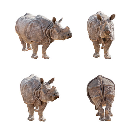 Indian Rhinoceros isolated on white background. Pack of images.