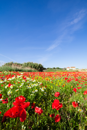 spring landscape: Spring landscape with a field of red poppies and a blue sky with white clouds. Mediterranean, Europe. Stock Photo