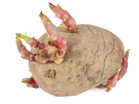 decaying: Old potato sprouting with a close up of the sprouts isolated on a white background Stock Photo