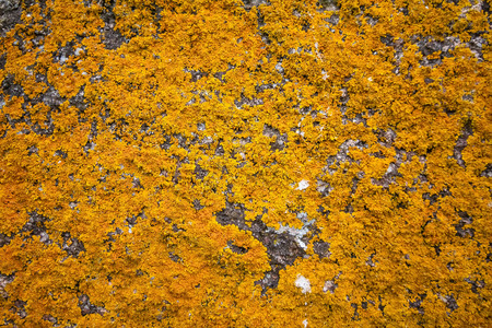 granite wall: Background texture of Xanthoria parietina lichens on an old granite wall.