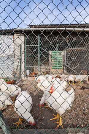 capon: White chickens or hens inside a chicken coop or hen house seen through the chicken wire.