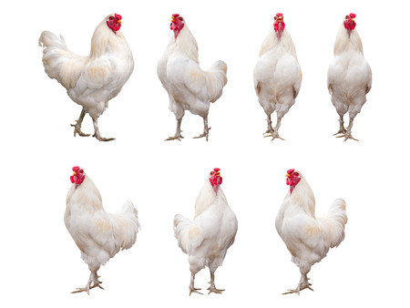 capon: White Rooster, Cock or Chicken isolated on a white background collection, pack or set.