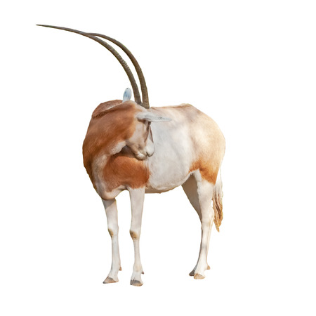 Scimitar Oryx or Ory Dammah grooming isolated on white background cut out. Stock Photo