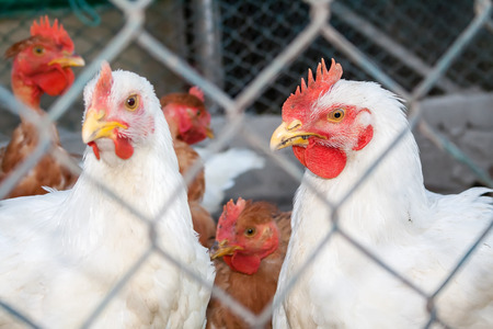 capon: Two white chickens or hens inside a chicken coop or hen house seen through chicken wire. Stock Photo