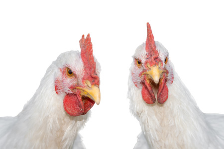 capon: Portrait of two white Rooster, Cock or Chickens isolated on a white background.