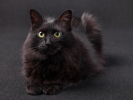 Schwarze Katze, die sich hinlegt, die Kamera auf einem dunklen Hintergrund gegenüberstellend. Langhaarige türkische Angora-Rasse. Erwachsene Frau.