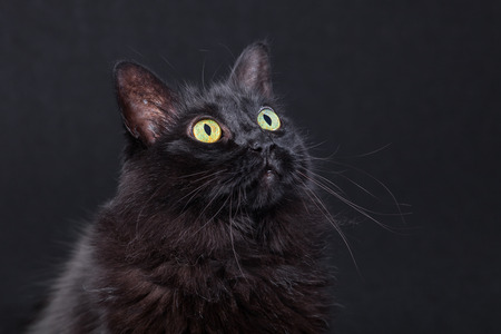 Portrait of a black cat looking up on a dark background, acting curious and focused. Long hair Turkish Angora breed. Adult female.