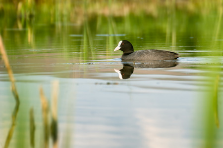 eurasian: Eurasian coot Stock Photo
