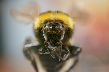 bombus: Bumble bee Bombus Stock Photo