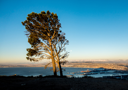tall tree on Signal Hill, Cape Town, in the sunset