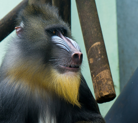 Sitting Baboon looking at the people infront of his cage