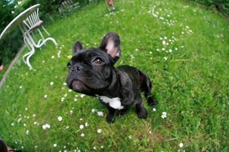 French Bulldog puppie in the Grass lookung upwards