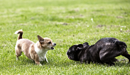 French Bulldog and Chihuahua playing around on the grass Stock Photo