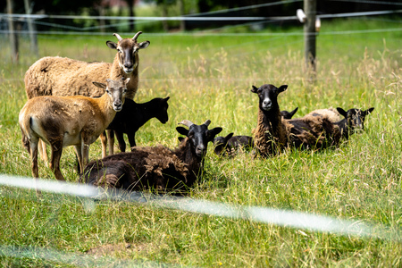 Herd of mouflons with lambs on a meadow on the farm Stock Photo