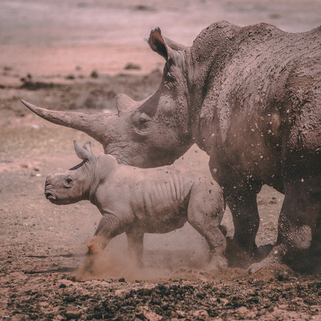 A white Rhino mother with her baby in private game reserve Reklamní fotografie