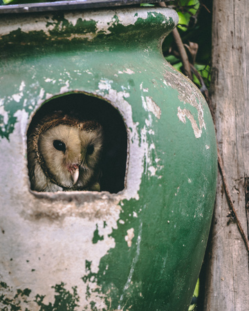 African Barn Owl sitting in a clay jug observing the surroundings