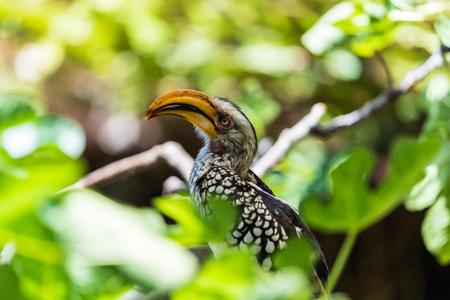 A Yellow-Billed Hornbill sitting on a brach between leaves Banco de Imagens
