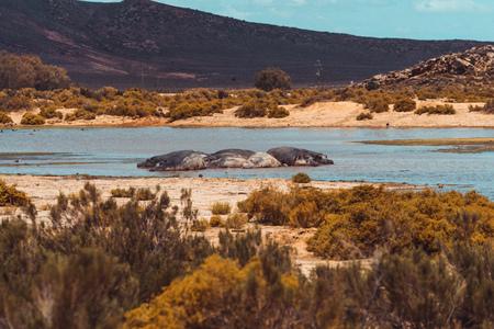 a herd of hippos lies in the waterhole Banco de Imagens