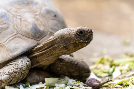 Tortoise turtle feeding on some green salad Banco de Imagens