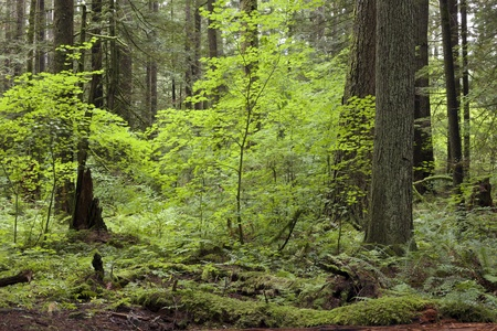 Virgin forest with high trees Stock Photo