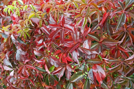red bush: Red bush fence in the fall