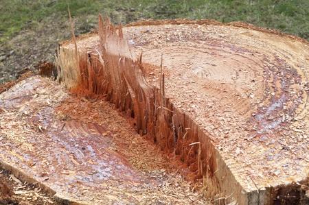 Stub of aged tree