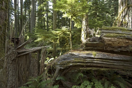 Big trees in the virgin forest ay Vancouver Island Stock Photo