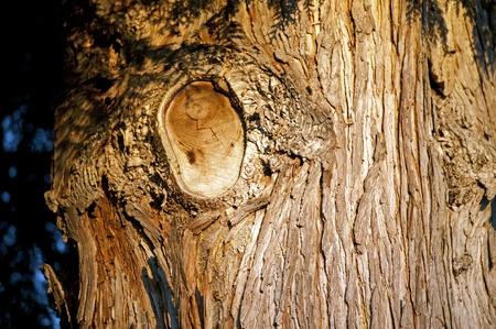 A bark of Western red cedar
