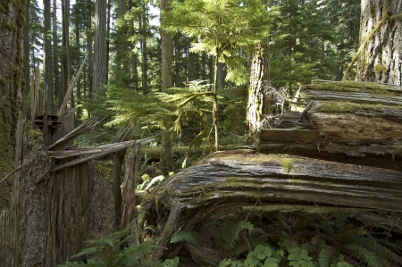 hemlock: Big trees in the virgin forest ay Vancouver Island Stock Photo