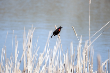alone bird: Alone bird, Red-winged Blackbird by the lake Stock Photo